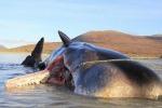 Capodoglio «esplode» sulla spiaggia in Scozia: nello stomaco 100 kg di spazzatura