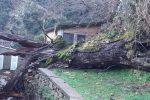 """Caduto a San Luca il """"castagno della 'ndrangheta"""" piantato dai monaci nel 1.200"""