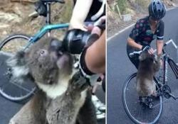 Il koala assetato ferma la ciclista per un sorso d'acqua La scena nella regione australiana di Adelaide Hills dove le fiamme hanno bruciato 25.000 ettari di terreno - CorriereTV