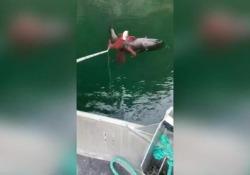 L'Aquila prova a mangiarsi il polpo (e rischia di annegare) La scena ripresa da alcuni pescatori in Canada - Corriere Tv