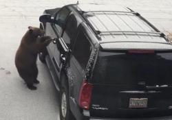L'orso apre la portiera dell'auto e si mette al volante Il video girato dai proprietari della vettura in California - CorriereTV