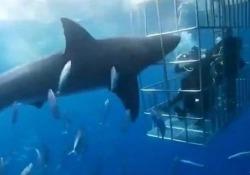 La denuncia: lo squalo attacca i sub nella gabbia, infila la testa e muore dissanguato L'incontro ravvicinato tra il pescecane e i sub nella Riserva della biosfera di Guadalupe, in Messico - CorriereTV
