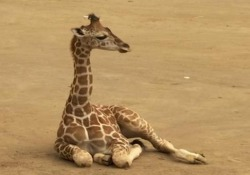 Lo zoo di Città del Messico accoglie la seconda giraffa del 2019 È una femmina ed è nata lo scorso 23 ottobre - Ansa