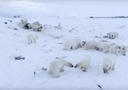 Oltre 50 orsi polari affamati invadono il villaggio in Russia Nel villaggio di Ryrkaypiy, nell'estremo nord della Russia, i residenti temono la minaccia dei predatori in cerca di cibo - CorriereTV