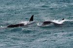 Orche nello Stretto di Messina, nessun altro avvistamento ma le ricerche continuano