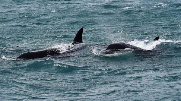 Marecamp, orche, stretto di messina, Simone Vartuli, Messina, Sicilia, Società
