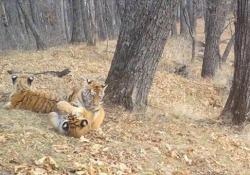 Russia, cuccioli di tigre giocano allo stato brado: le immagini catturate dalla telecamera nascosta Il filmato mostra tre cuccioli in via di estinzione che giocano - Ansa