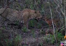 Sudafrica, piccolo cervo testa a testa con il leopardo: la scena che non ti aspetti nel Parco Kruger Il video è stato condiviso da un ranger e una guida safari che hanno assistito alla scena - Corriere Tv