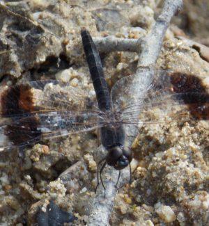 La libellula africana all'oasi Angitola