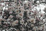 In Sicilia lo spettacolo della fioritura dei primi mandorli - Foto