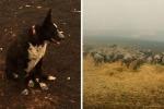 Australia: il cane che ha salvato il gregge di pecore da un muro di fuoco