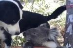 Australia: il cane condivide l'acqua con il koala assetato