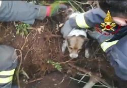 Cagnolini sepolti vivi in una tana, i pompieri li salvano I vigili del fuoco sono intervenuti sul monte Taburno nel Beneventano - Ansa