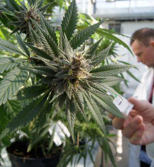 Cannabis terapeutica, farmaco gratis in Sicilia ma solo in alcuni casi: ecco quali