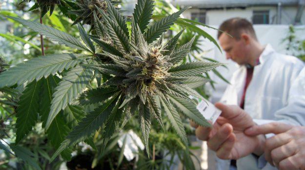 cannabis, regione siciliana, ruggero razza, Sicilia, Società