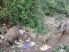 Emergenza cinghiali a Messina, nuovi avvistamenti a San Licandro - Video