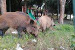 Emergenza cinghiali a Messina, tre esemplari invadono villa a piazza Castronovo