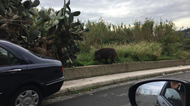 cinghiali, panico, residenti, Cateno De Luca, Messina, Sicilia, Cronaca