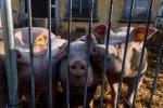 Entro fine mese rapporto Ue su peste suina in Sardegna