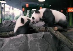I panda gemelli dello Zoo di Berlino: Pit e Paule sono pronti per il debutto in società I cuccioli finalmente visibile ai visitatori - Agenzia Vista/Alexander Jakhnagiev
