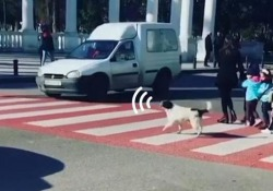 Il cane-vigile urbano che aiuta i bimbi ad attraversare sulle strisce L'animale abbaia agli automobilisti maleducati che non si fermano all'attraversamento pedonale - CorriereTV