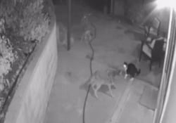 Il gatto senza paura: scaccia tre coyote dal cortile di casa Il filmato della videosorveglianza di un'abitazione a Los Angeles - CorriereTV