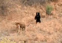 L'orso affronta due tigri affamate in un parco nazionale in India Il video, diventato virale, è stato girato nel parco nazionale di Ranthambore, nel Rajasthan - CorriereTV