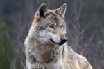 Guardia Piemontese, allevatore trentenne aggredito da un lupo