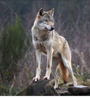 """Il lupo torna in Calabria, il Wwf: """"Nessun ripopolamento, ecco perché si sta diffondendo"""""""