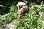 Taurianova-Cortina, i 15 arresti per droga: la rete della marijuana nel mirino della Procura