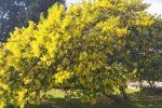 """A Lamezia alberi di mimosa in fiore nei """"giorni della merla"""""""