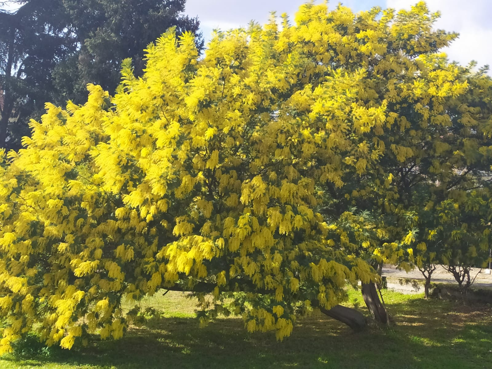 """Fiori Del Mese Di Giugno a lamezia alberi di mimosa in fiore nei """"giorni della merla"""