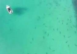 Nuova Zelanda: centinaia di squali in agguato a pochi metri dalla spiaggia Le riprese dal drone davanti al Golfo di Hauraki - CorriereTV