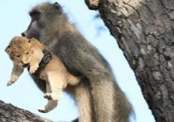 Babbuino rapisce cucciolo di leone per prendersene cura (ma non c'è il lieto fine) Apparentemente sembra una scena tenera, da «Il re leone», ma questo video « catturato» nel Kruger National Park, in Sudafrica, mostra qualcosa di diverso - CorriereTV
