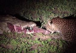 Il coccodrillo dorme e il leopardo si riprende la preda dalle sue fauci La curiosa scena ripresa in un parco nazionale dello Zambia - CorriereTV