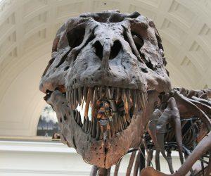 Scoperta in Canada una nuova specie di tirannosauro