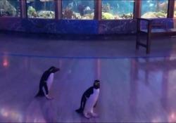 Coronavirus: i pinguini esplorano l'acquario rimasto vuoto Lo Shedd Aquarium di Chicago è chiuso fino al 29 marzo - Dalla Rete
