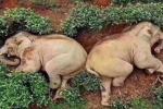 Due elefanti si ubriacano e «crollano» in mezzo a una piantagione da tè