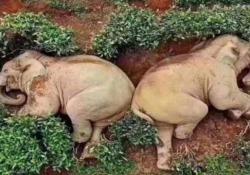 Due elefanti si ubriacano e «crollano» in mezzo a una piantagione da tè Le immagini dei due pachidermi stesi a terra «dopo aver bevuto 30 litri di vino di mais» hanno fatto il giro dei social - Dalla Rete