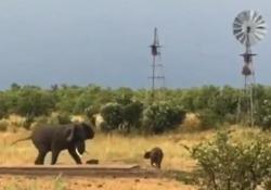Il vitellino spaventa il grosso elefante asiatico Sui social network circola un curioso video che mostra un grande elefante che scappa da un piccolo e impertinente bufalo - CorriereTV