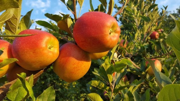 food, mele, trentino, Terra e Gusto