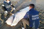 Ritrovata balenottera morta a Fregene: le foto dal litorale