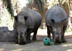Cile, lo zoo che regala uova di Pasqua agli animali Anche gli animali festeggiano con «dolci» salati - Ansa