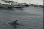 Il giro del mondo dei delfini in una fake news: il video dell'avvistamento diventato virale
