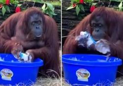 La lezione dell'orango Sandra: così si lava le mani con il sapone La clip è tornata a circolare sui social in tempi di coronavirus - Corriere Tv