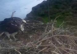 La schiusa delle uova di falco pescatore nella Laguna di Orbetello La schiusa del primo uovo della coppia di falchi pescatori che ha nidificato nell'Oasi Wwf di Orbetello - Corriere Tv