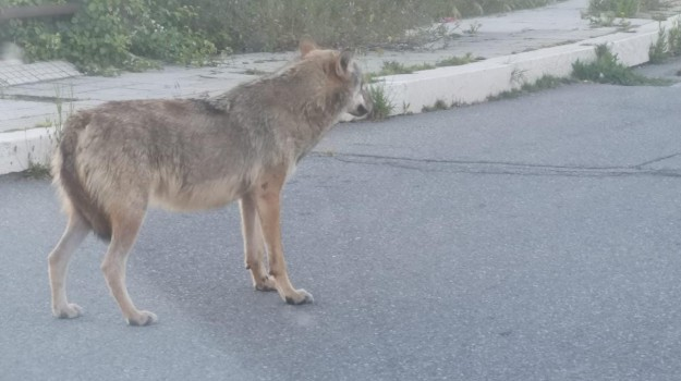 crotone, lupi, Catanzaro, Calabria, Cronaca