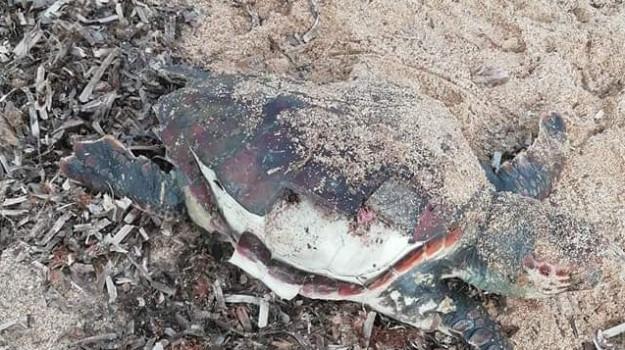 isola di capo rizzuto, tartaruga, Catanzaro, Calabria, Cronaca