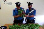 Sedici piante di cannabis nel giardino di casa, denunciato a Rovito