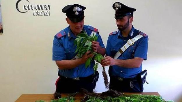 cannabis, Cosenza, Calabria, Cronaca